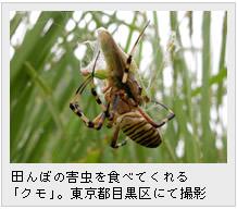 田んぼの害虫を食べてくれる「クモ」。東京都目黒区にて撮影