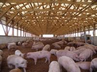 もみ殻やたい肥などを活用したポークランドグループの「バイオベッド豚舎」