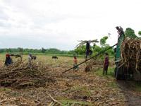 マスコバド糖原料となるサトウキビの栽培にも基金が活用されています