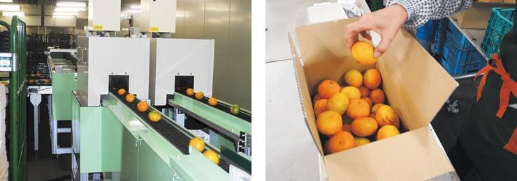 みかんを光センサーに通して検品(左)/箱入りのみかんを開封し、全品検品(右)